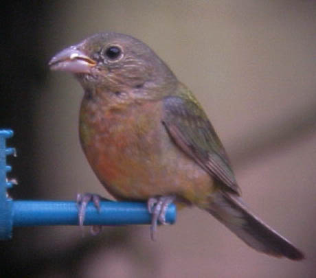 juvenile Painted Bunting