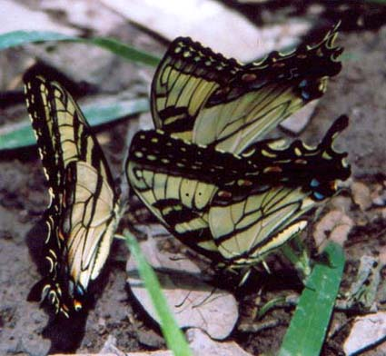 E. Tiger Swallowtails