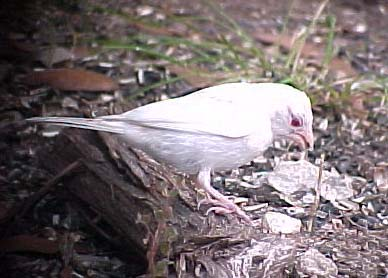albino House Finch