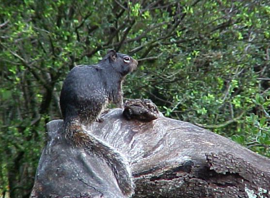 Black Rock Squirrel