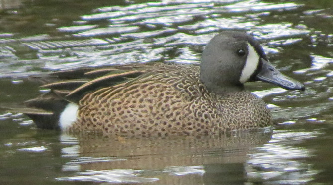 bluewingedteal