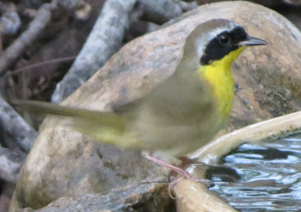 commonyellowthroat