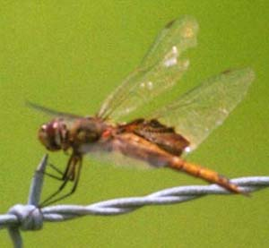 Female Red Saddlebags