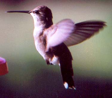 Fem. Black-chinned Hummingbird