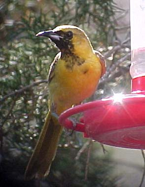 sub-adult Hooded Oriole
