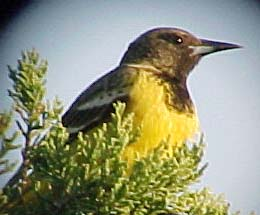 female Scott's Oriole